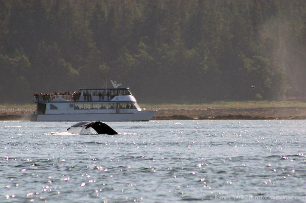 North America, USA, Alaska, Juneau. Whale Watching near Gastineau Channel.