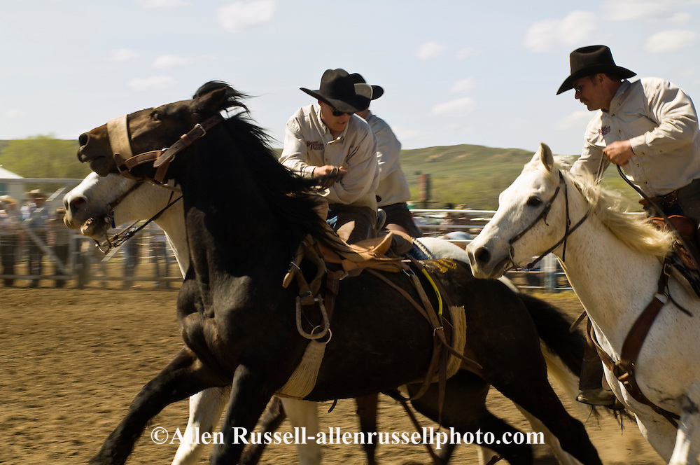 Pickup men Jay Shaw, Kyle Shaw and Lynn Ashley pick up saddle bronc, Miles City Bucking Horse Sale, Montana, <br /> MODEL RELEASED