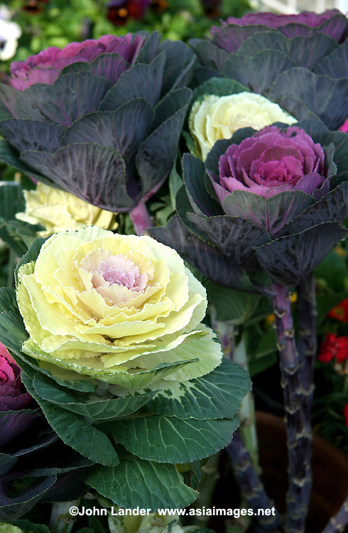 Purple Cabbage Decorations, Japanese New Year