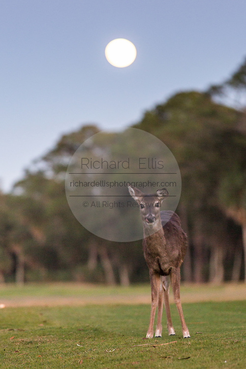 Deer on the Ocean Creek Golf course at twilight with a full moon on Fripp Island, SC.