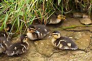 Mallard ducklings, Anas platyrhynchos, in a stream in The Cotswolds, UK