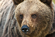 A close-up portrait of an Eurasian Brown Bear in the forest of Finland