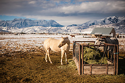 A white horse on a farm near Mount Timpanogos in Heber, Utah