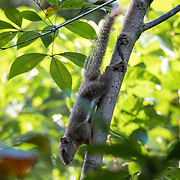 The plantain squirrel, oriental squirrel or tricoloured squirrel (Callosciurus notatus) is a species of rodents in the family Sciuridae found in Indonesia, Malaysia, Singapore, and Thailand in a wide range of habitats: forests, mangroves, parks, gardens, and agricultural areas.