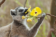 Ring-tailed Lemur<br /> Lemur catta<br /> Feeding on flower<br /> Berenty Private Reserve, Madagascar