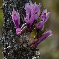 Orchid (Dendrobium vexillarius)
