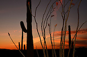 Saguaro cactus and blooming ocotillo in Ironwood Forest National Monument at sunset in the Sonoran Desert near Eloy, Arizona, USA