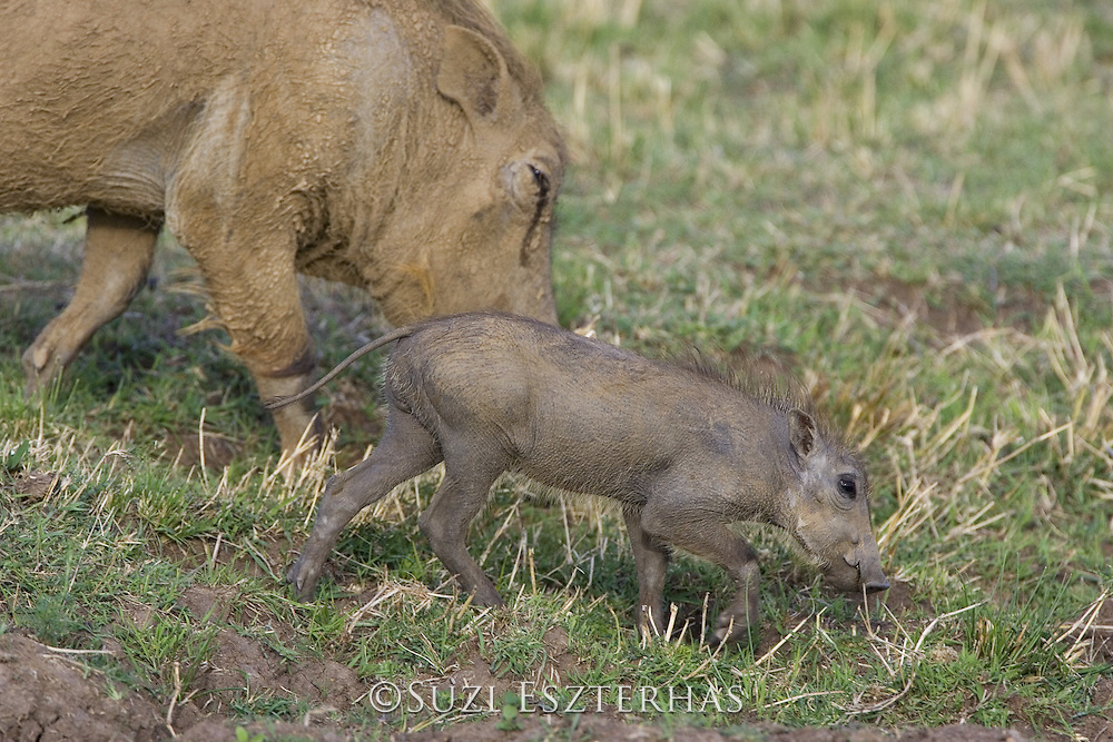 AFRICAN WART HOG <br /> Phacochoerus aethiopicus<br /> young piglet grazing with mother<br /> Masai Mara Reserve, Kenya