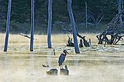 Great blue heron (Ardea herodias) on stump, Rabi Lake <br />near Parry Sound<br />Ontario<br />Canada