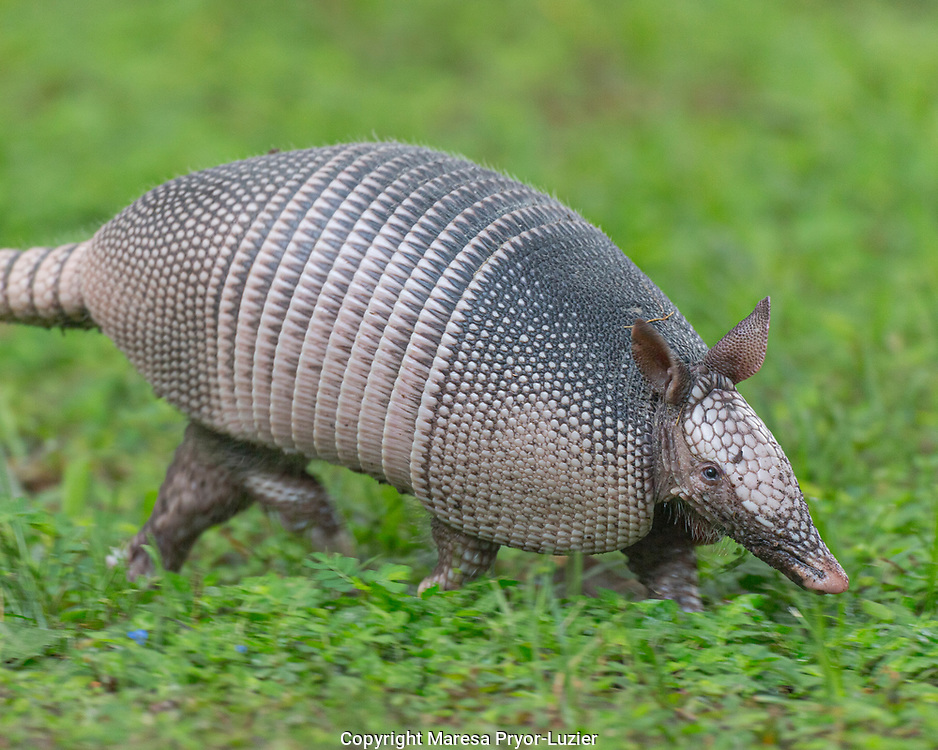 Nine-banded armadillo, or long nose on the run, Dasypus novemcinctus, Florida