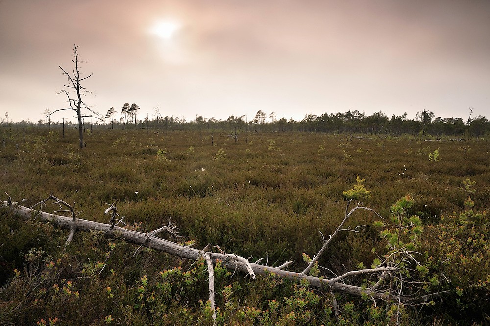 Burned forests in bog, Slitere National Park, Latvia