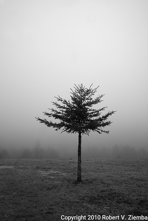 """A Forest of One""-A minimal black and white image of a lone spruce tree in a field with the forest edge visible through the fog in the background."