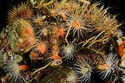 Orange decameric anemone (Halcurias pilatus) Comau Fjord, Patagonia, Chile |