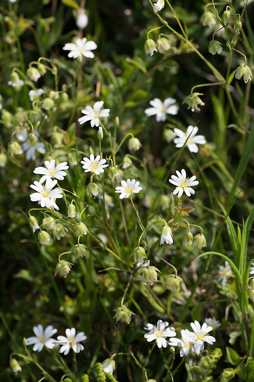 Delicate white flowers of wildflowers in hedgerow in summertime in Cornwall, UK