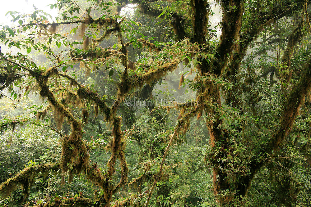 Monteverde Cloud Forest Preserve, Costa Rica.<br /> <br /> For pricing click on ADD TO CART (above). We accept payments via PayPal.