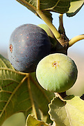 Close up of the fruit and leaves of a fig tree Ficus carica blue sky background