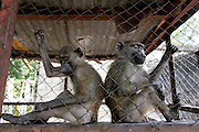 Monkeys and baboons keep in cages at a riverside restaurant.  Kinshasa, Democratic Republic of Congo...Zute & Demelza Lightfoot.www.lightfootphoto.com