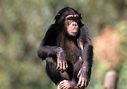 closeup portrait of a Chimpanzee (Pan troglodytes) in captivity in a zoo
