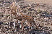 Female spotted deer (Axis axis) cleaning a new-born, deer. Tadoba NP, India.