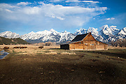 The Moulton Barn with Buffalo running by in Grand Teton National Park Wyoming