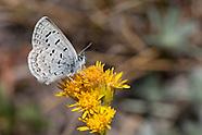 Plebejus s. shasta - Shasta Blue