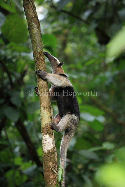 Northern Tamandua or Collared Anteater (Tamandua mexicana) climbing in rainforest. Corcovado National Park, Osa Peninsula, Costa Rica. <br /> <br /> For pricing click on ADD TO CART (above). We accept payments via PayPal.
