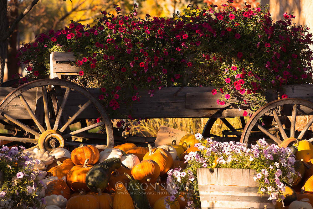 Fall pumpkins, Montana.