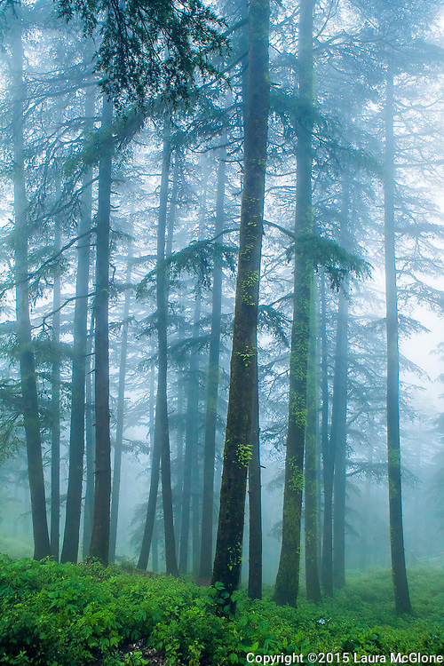 Trees in Fog, Shimla, India