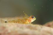 Cunningham's triplefin fish (Helcogrammoides cunninghami) [size of single organism: 5 cm] Comau Fjord, Patagonia, Chile |