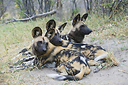 African Wild Dog<br /> Lycaon pictus<br /> Pack members huddled together for warmth<br /> Northern Botswana, Africa<br /> *Endangered species