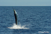 Pacific blue marlin, Makaira nigricans or Makaira mazara, jumps while hooked up during the Hawaii International Billfish Tournament, Kailua Kona, Hawaii ( Central Pacific Ocean )
