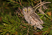 European Scops Owl (Otus scops), Also Eurasian Scops Owl Israel, Spring