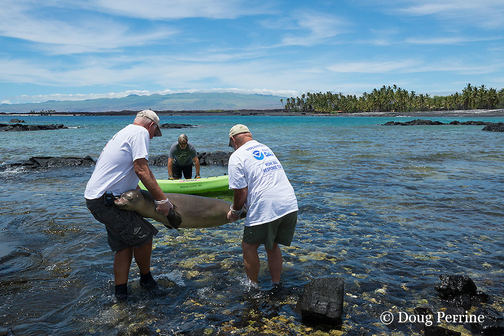 WHMMRN volunteers Art Tarsa (left) and Bob Gladden (right) carry carcass of Hawaiian monk seal, with fishing line coming out of mouth out to kayak for transport; 8 month old juvenile male named Keokea, necropsy later confirmed that seal died due to lung punctured by fishing hook; Keawaike Bay, South Kohala, Hawaii Island ( the Big Island ), Hawaii, U.S.A.