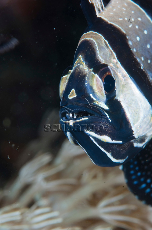 Banggai Cardinalfish, Pterapogon kauderni, Male with young on mouth, Lembeh Strait, Sulawesi, Indonesia