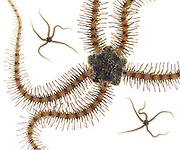 Banded Brittle Star (Ophionereis annulata)<br />