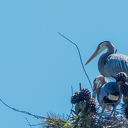 Great Blue Herons (Ardea herodias), Golden Gate Park, San Francisco, California, US