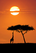 Giraffe feeding on acacia tree, Serengeti National Park, Tanzania.