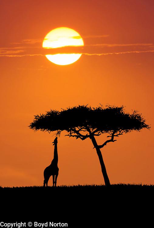 Giraffe feeding on acacia tree, Serengeti National Park, Tanzania.