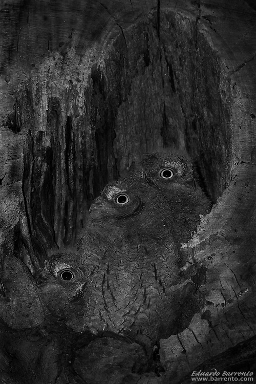 """The Eurasian scops owl (Otus scops) In 2008, this picture won the 1st prize in the category """"Nature"""" of the VIII Photojournalism Award Visão/BES, with a jury composed by Jean-François Leroy, director of the festival """"Visa Pour l'Image"""" in Perpignan, France; Susan Smith, Deputy Director of photography of the National Geographic magazine and the photojournalists Yuri Kozyrev, Noël Quidu and Philip Blenkinsop"""