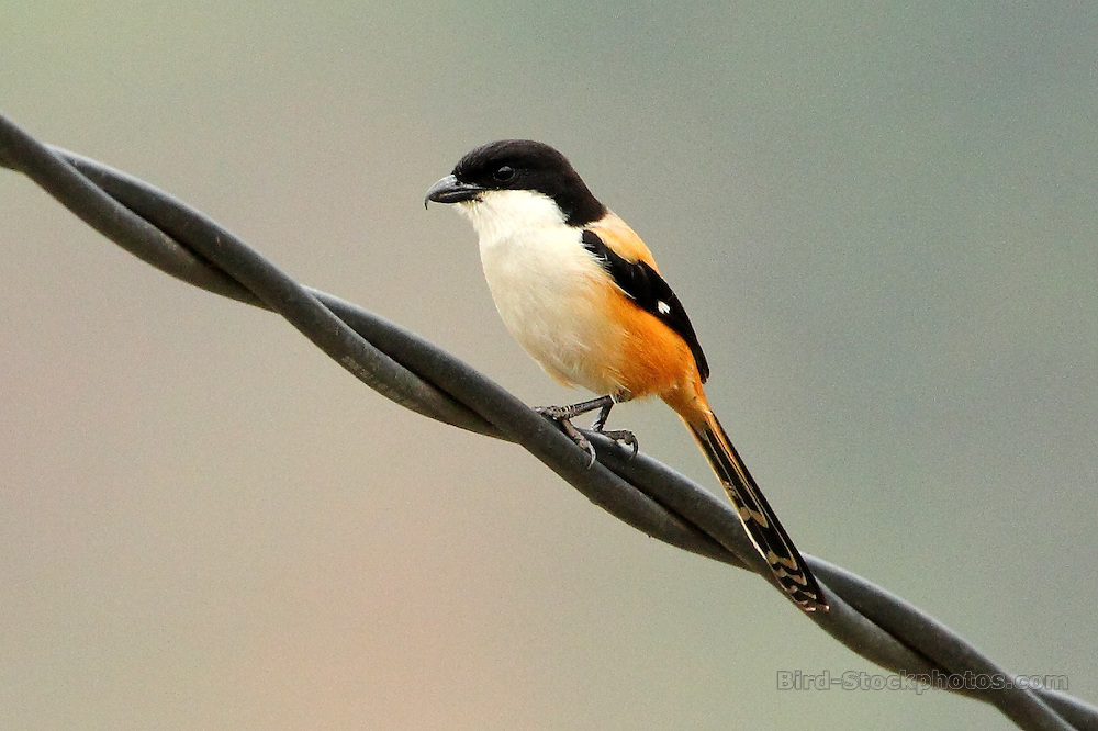 Long-tailed Shrike, Lanius schach, Bhutan, by Markus Lilje