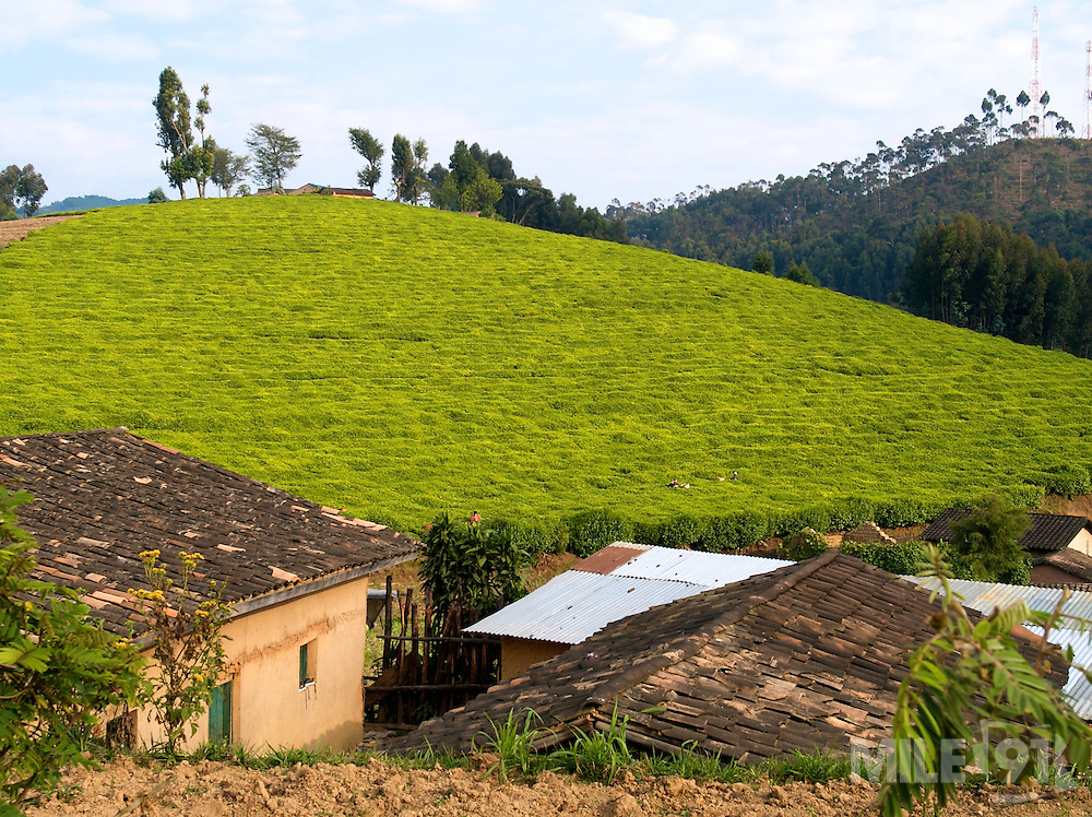 Tea growing in the south of Rwanda