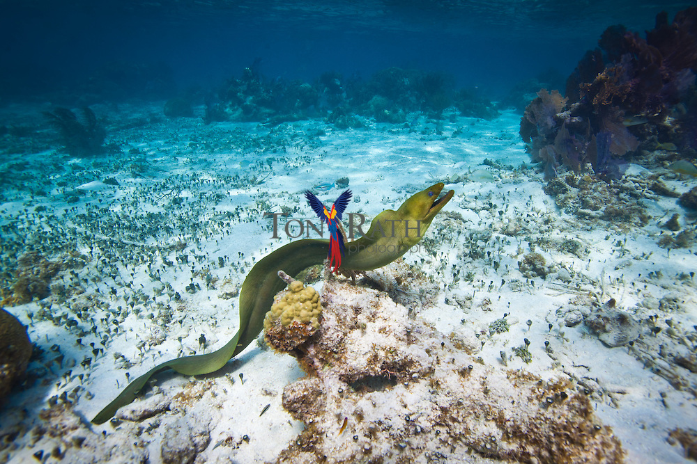 Underwater shot shows full body of moray eel on the ocean floor against crystal clear blue water and coral barrier reef background at the Hol Chan Marine Reserve in San Pedro Ambergris Caye, Belize.