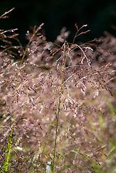 Molinia caerulea subsp. arundinacea or Panicum virgatum 'Warrior' to be confirmed