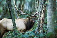 President Roosevelt created Mount Olympus National Monument in 1909, primarily to protect the subalpine calving grounds and summer range of the Roosevelt elk herds