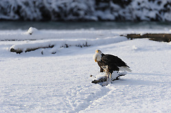 This photo is part of a sequence in which a bald eagle drags a salmon from the Chilkat River only to eat it in front of the eagle that it dragged it up to. In this image (ninth of the twelve image sequence) a second eagle continues to drag a salmon from the river towards the other eagle. The photo was taken in the Alaska Chilkat Bald Eagle Preserve near Haines, Alaska.