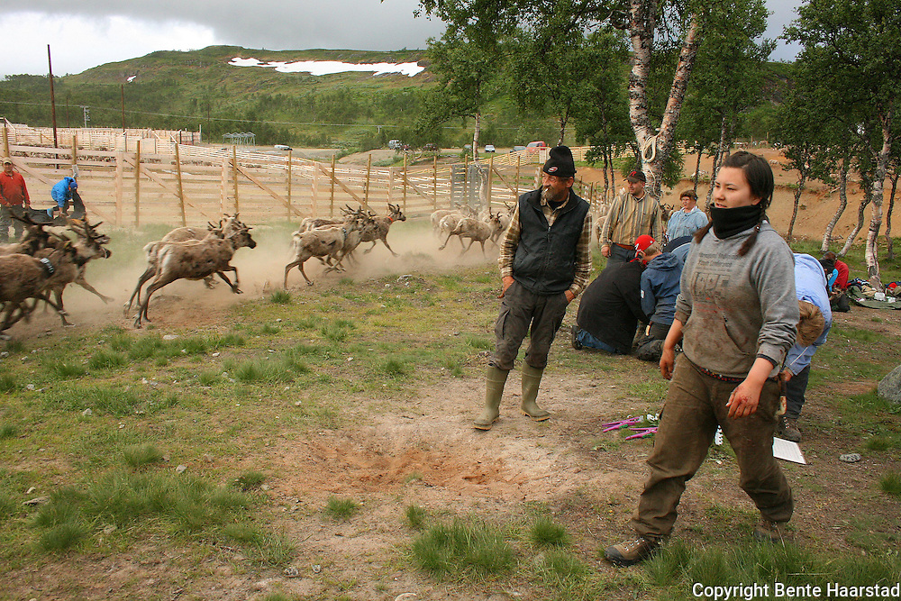 The reindeer calves are given the owners mark in the ear. Nightly work every summer. South sami people of Saanti Sijte, Mid-Norway...
