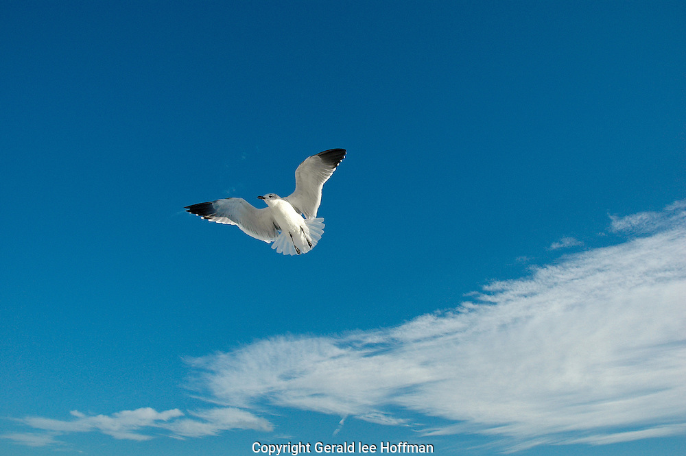 Seagull hovering over Sanibel Island.