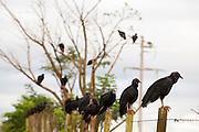 Extrema_MG, Brasil...Urubu-de-cabeca-preta (Coragyps atratus) em uma cerca de arame proximo a BR 381...Vultures on the razor wire next BR 381...Foto: LEO DRUMOND / NITRO....