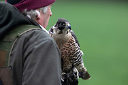 Ellis Phythian, a member of the Cheshire Hawking Club during a meet at Brimstage, Wirral.