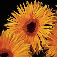 Orange Gerberas on a black background. Bold and modern.